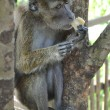 Royalty-Free Stock Photo: Macaque monkey sitting on a tree and eats