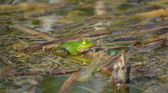 Green frog sitting in a pond, lake — Stock Photo