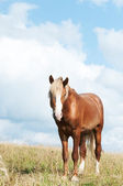 Beautiful brown horse on the field — Stock Photo
