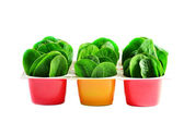 Spinach in pots — Stock Photo