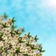 Stock Photo: Blossom branch