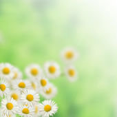 Many White daisies — Stock Photo