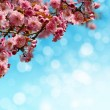 Blooming sakura tree — Stock Photo