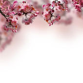 Blooming sakura — Stock Photo