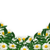 Daisies and green leaves — Stock Photo
