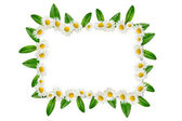 Frame: daisies and green leaves — Stock Photo