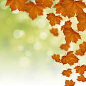 Fall of red maple leaves — Stock Photo