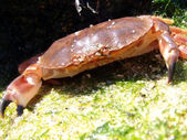 Crab Out of Water on a Beach Rock — Stock Photo