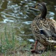 Duck observe the Water Lake — Stock Photo