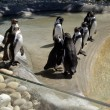 Queue of Penguins — Stock Photo #23766799