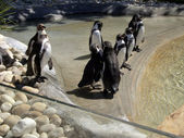 Queue of Penguins — Stockfoto