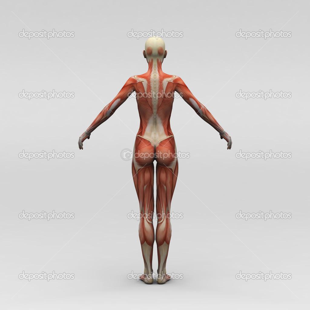 女性人体解剖学和肌肉图片