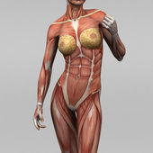Female human anatomy and muscles — Stock Photo