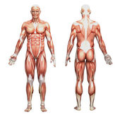Male anatomy and muscles — Stock Photo