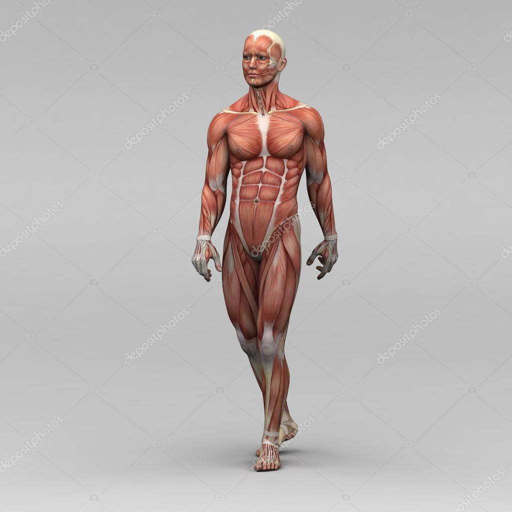 男性人体解剖学和肌肉图片