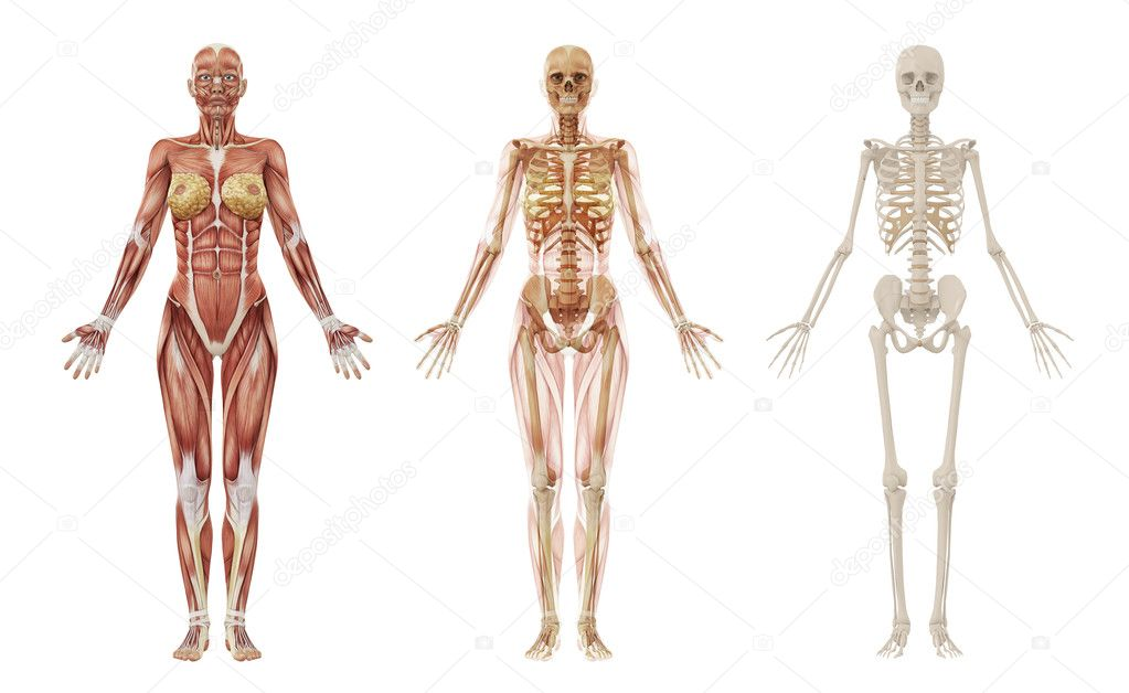 Anatomy and Physiology of The Human Bodymuscles
