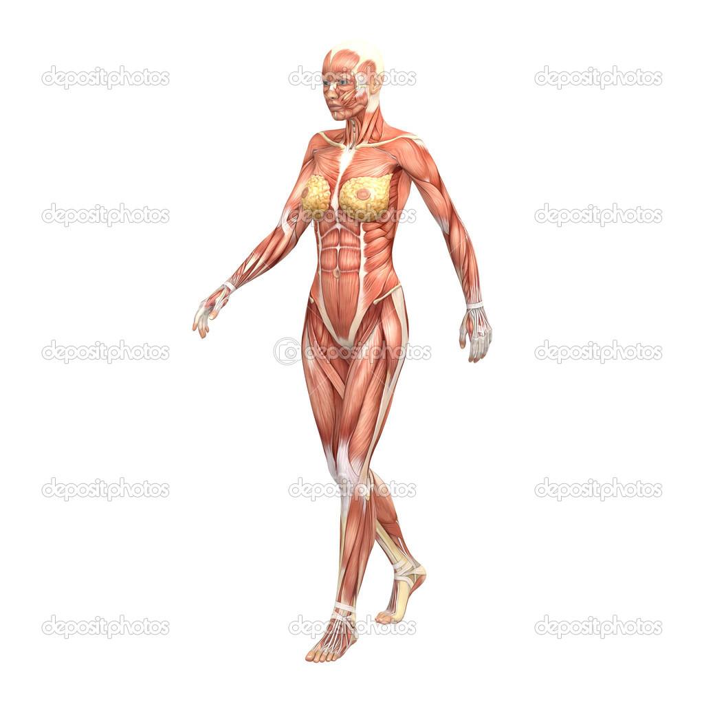 Body bone anatomy