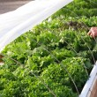 Hydroponic Lettuce Garden - Stock Photo