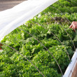Stock Photo: Hydroponic Lettuce Garden