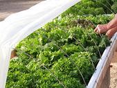 Hydroponic Lettuce Garden — Stock Photo