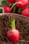 Fresh radish in soil — Stock Photo