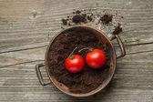 Pomidor holowania na ziemi — Zdjęcie stockowe