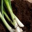 Bunch of fresh green onions — Stock Photo #20042811