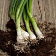 Bunch of fresh green onions — Stock Photo #20042951