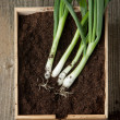 Bunch of fresh green onions — Stock Photo #20043515