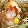 Chicken with eggshell in nest — Stock Photo