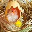 Chicken with eggshell in nest - Stock Photo