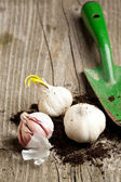 Garlics in soil with spade — Stock Photo