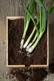 Bunch of fresh green onions — Stock Photo