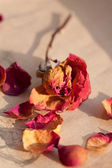 Dry red rose — Stock Photo