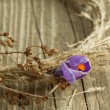 Purple crocus flower in dry wreath — Stock Photo