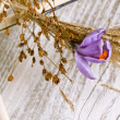 Stock Photo: Purple crocus flower in dry wreath