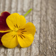 Pansy flower - Foto Stock