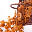 Fresh chanterelle mushrooms — Stock Photo