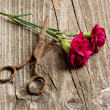 Carnation and old scissors — Stock Photo