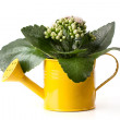 Flowers in watering can isolated — Stock Photo