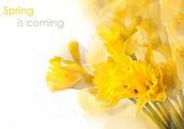Yellow daffodils and ladybug — Stock Photo