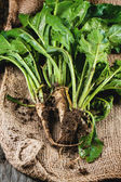Bunch of young sugar beet roots — Stock Photo