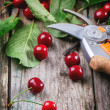 Bunch of fresh cherries with secateurs — Stock Photo #47830021