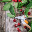 Bunch of fresh cherries with secateurs — Stock Photo #48312951