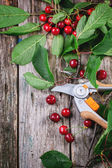 Bunch of fresh cherries with secateurs — Stock Photo