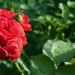 Red rose flower — Stock Video #48373179