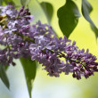 Purple Lilacs — Stock Photo #25622703