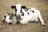 Cow and Goat — Stock Photo