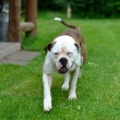 Bulldog — Stock Photo #35888195