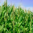 Green field of corn — Stock Photo